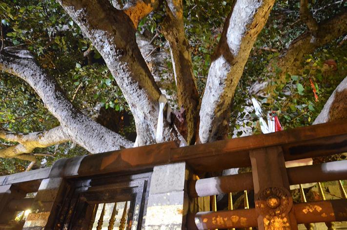 L'arbre où le Bouddha a atteint l'éveil à Bodhgaya en Inde.